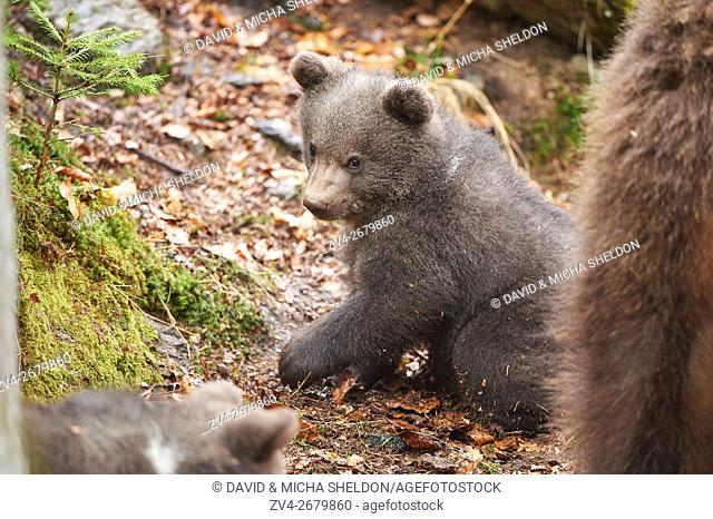 Close-up of a Eurasian or european brown bear (Ursus arctos arctos) cub in the bavarian forest in spring
