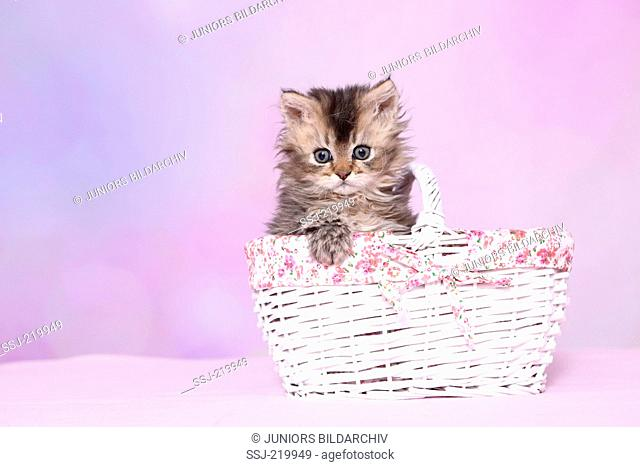 Selkirk Rex. Kitten (6 weeks old) in a white shopping basket. Studio picture against a pink background