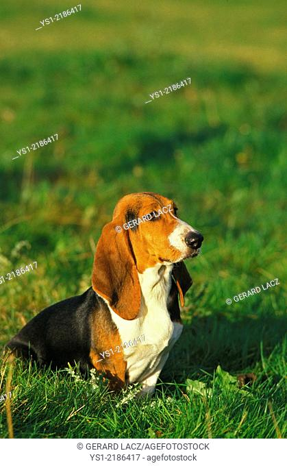 Artesian Norman Basset or Basset Artesian Normand sitting on Grass