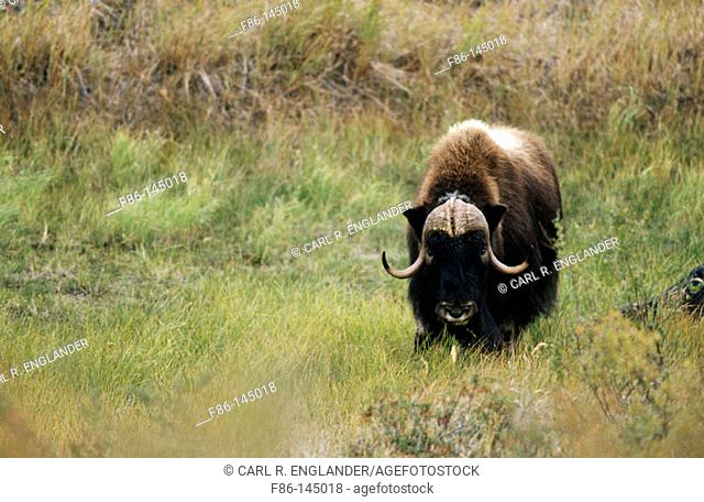 Adult male muskox feeding, Ovibos moschatus, Northwest Territories, Canada
