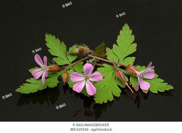 Herb Robert (Geranium robertianum), medicinal herb