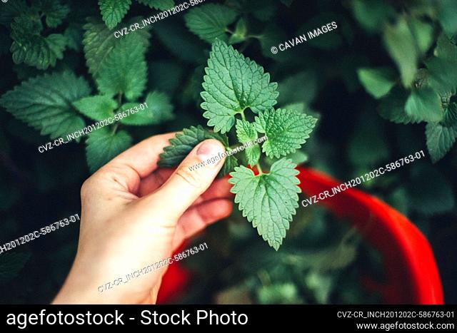 woman harvesting mint in the garden