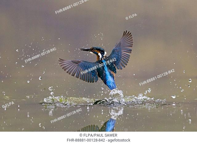 Common Kingfisher (Alcedo atthis) adult male, in flight, emerging from water following unsuccessful dive, Suffolk, England, July