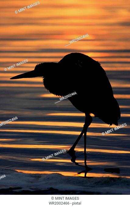 Silhouette of a Night Heron wading in water
