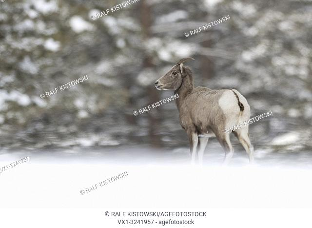 Rocky Mountain Bighorn Sheep ( Ovis canadensis ), in winter, female adult in snow, standing at the edge of a forest, Yellowstone, WY, USA.