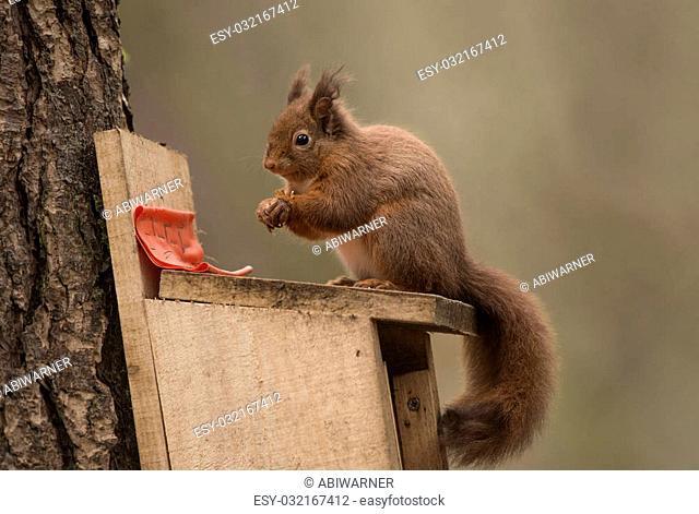 Red Squirrel sitting no a feeding box eating