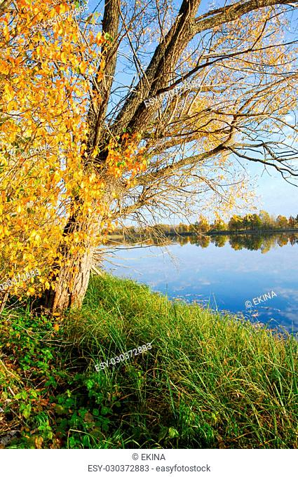 Autumn lake cane trees, green grass. the autumn landscape with yellow trees and small pond