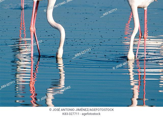 Greater Flamingo (Phoenicopterus ruber) feeding