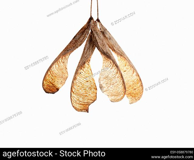 isolated on white background seeds of maple ash tree, autumn period