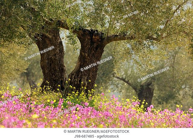 Olive trees plantation with flowers. Jaen province, Andalusia, Spain, Europe