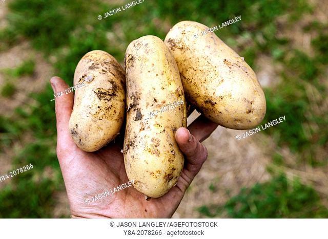A man's hand holding three freshly-dug potatoes