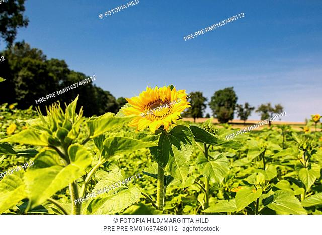 Sunflowers at Feldmark near Dransfeld, Samtgemeinde Dransfeld, Göttingen District, Lower Saxony, Germany, summer 2017 / Sonnenblumenfeld in der Feldmark bei...