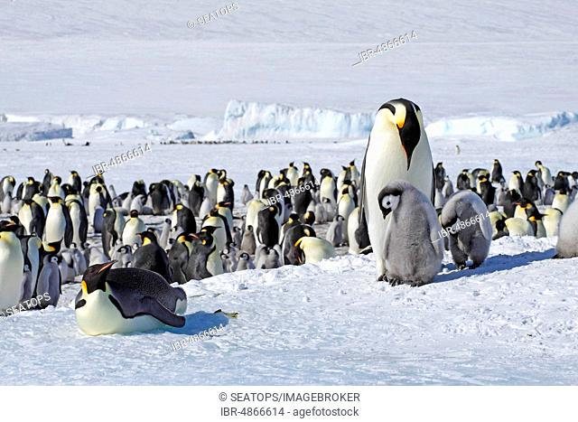 Emperor penguins (Aptenodytes forsteri), penguin colony in the ice, old animals with young, Antarctica