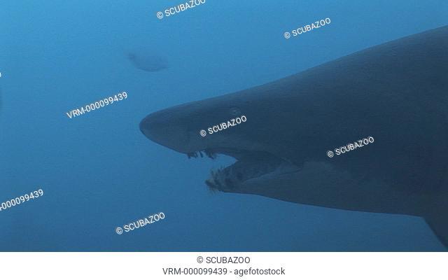 Sand Tiger Eugomphodus Taurus or Ragged Tooth Shark swimming slowly through frame, close up of head shot