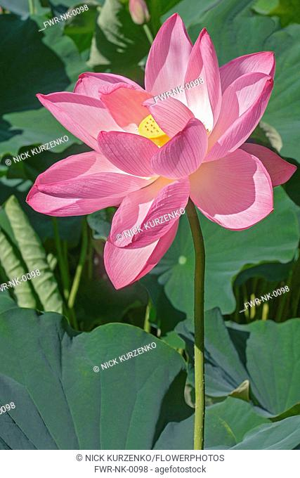 Lotus National Flower Stock Photos And Images Age Fotostock