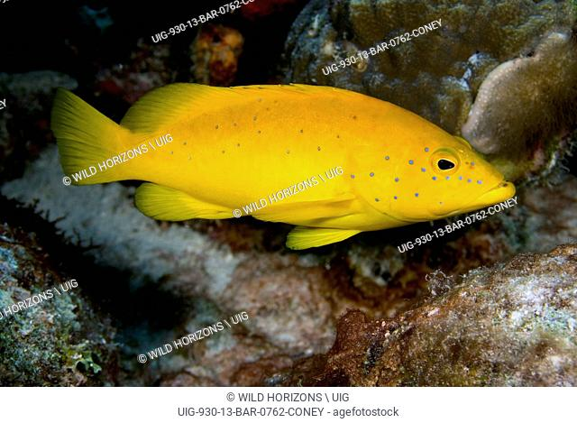 Portrait of a coney in a golden color variation. Cephalopholis fulva. Curacao, Netherlands Antilles. . .
