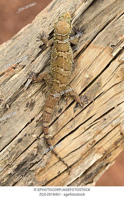 Leaf toed gecko, Hemidactylus parvimaculatus, Bhoramdeo Wildlife Sanctuary, Chhattisgarh. Medium sized gecko seen under boulders in forests and in tree hollows