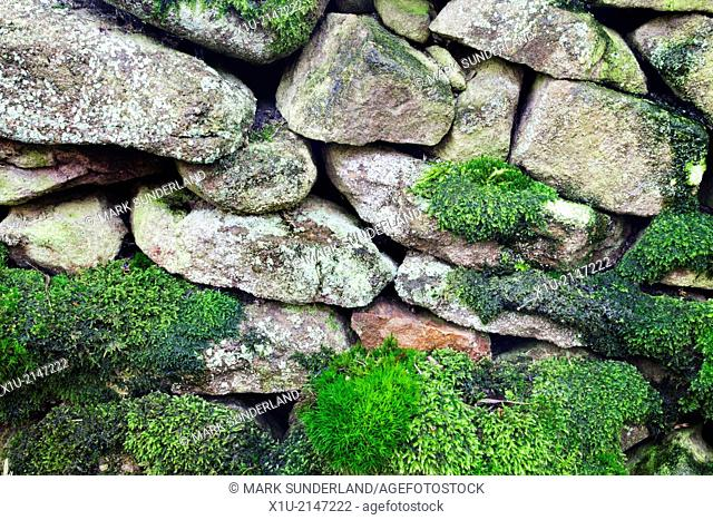 Mosses and Lichens on a Dry Stone Wall near Storiths North Yorkshire England