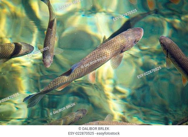 Plitvice lakes national park fish