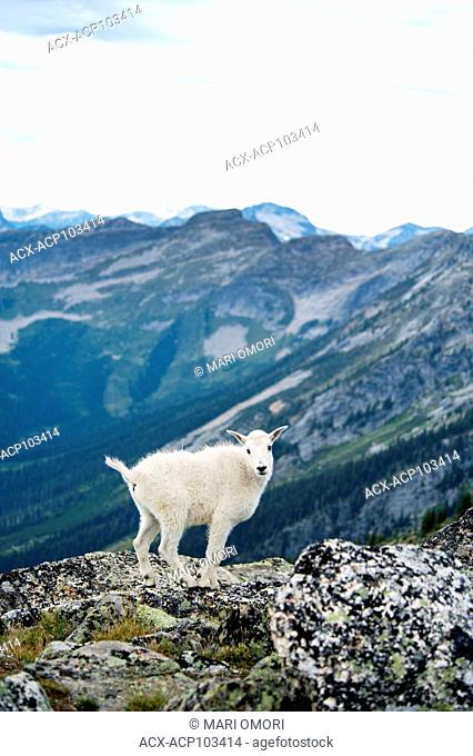 A juvenile Mountain Goat (also known as 'kid') poses for the camera