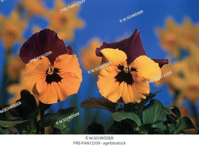 Stiefmütterchen Blume orange