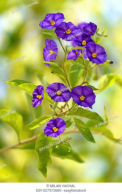 ,Blue Potato Bush, flower or Paraguay Nightshade in St. Gallen, Switzerland