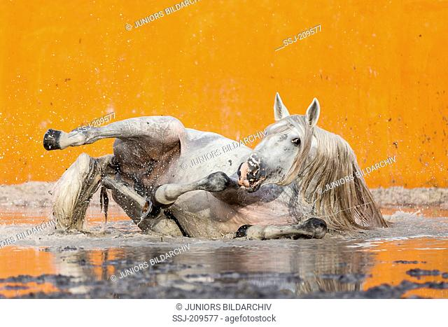 Lusitano. Gray stallion wallowing in a flooded bullfighting arena. Portugal