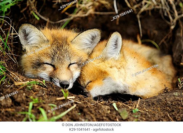 Red fox (Vulpes vulpes), kits
