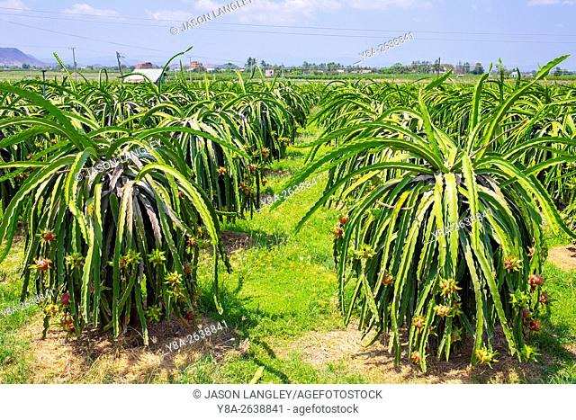 Ripe dragon fruit (pitahaya) on plants (Hylocereus undatus) at fruit farm, Ham Thuan Bac District, Binh Thuan Province, Vietnam