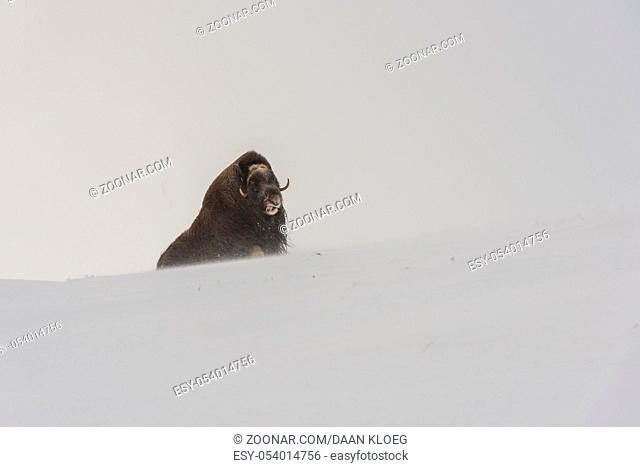 Sitting Muskox in the snow storm in National Park Dovrefjell in Norway
