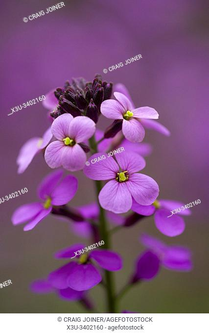 Close-up of Erysimum Bowles Mauve (Erysimum linifolium glaucum) flowers