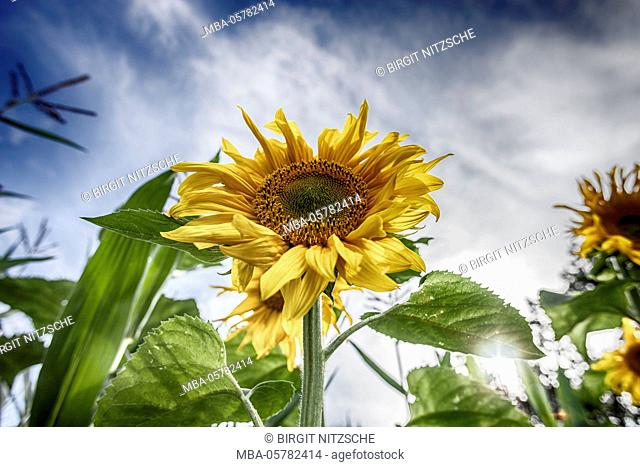 Sunflower field, blue sky, summer