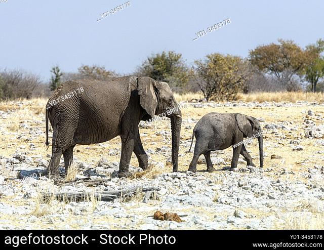 Namibia, Africa. Elephants at Etosha National Park