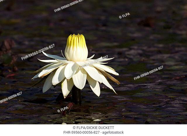Night-blooming Waterlily Nymphaea lotus flower, fully open in late afternoon, Okavango Delta, Botswana