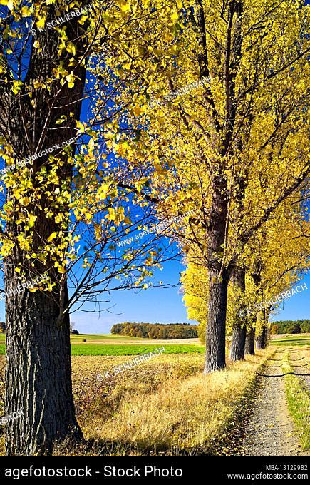Europe, Germany, Hesse, Marburger Land, poplar avenue on dirt road, near Amöneburg, autumn