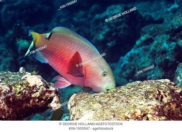 Indian parrotfish (Scarus strongycephalus), female scraping coral rock for algae. Maldives