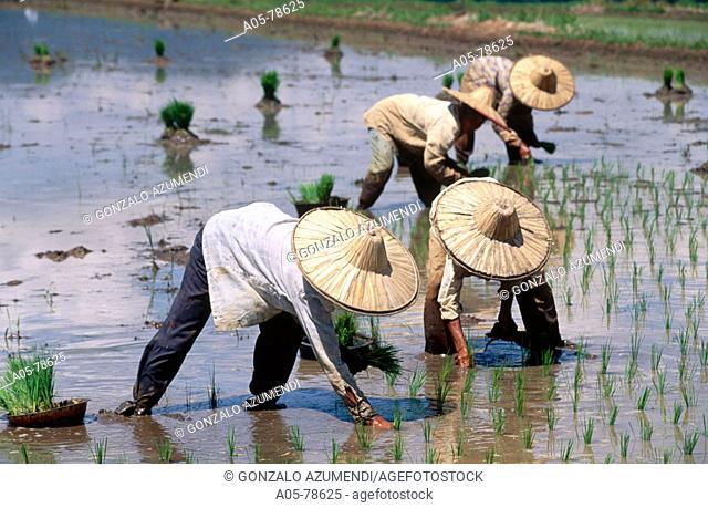Rice field. Minangkabau area. Sumatra. Indonesia