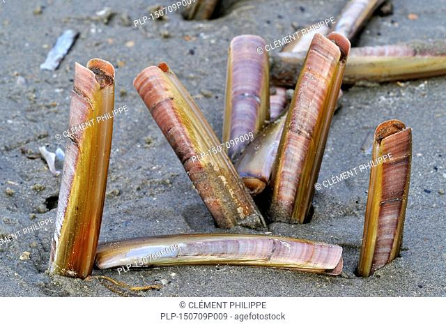 Live Atlantic jackknives / American jackknife clam / razor clams (Ensis directus / Ensis americanus) shells digging in sand on the beach after storm