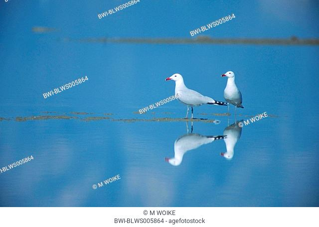 Audouin's gull Larus audouinii, couple standing in water, Spain, Katalonia, Ebrodelta