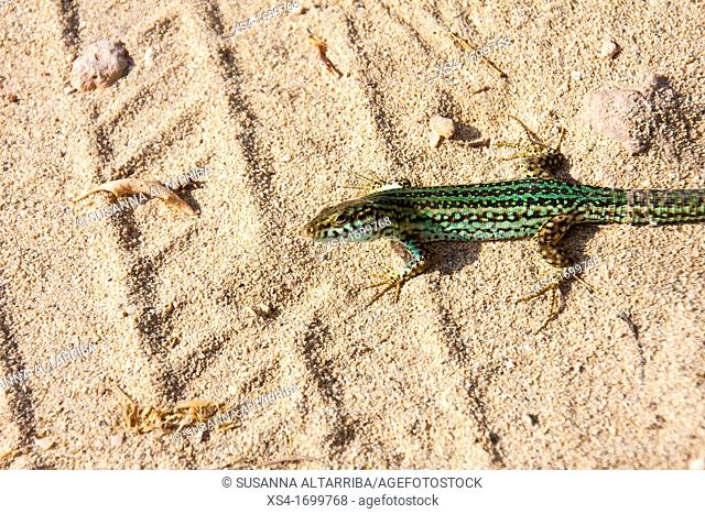 The Ibiza Wall Lizard, Podarcis pityusensis, sub-species, P  pityusensis formenterae  Is limited of Formentera  Photo take in Formentera, Balearic Island, Spain