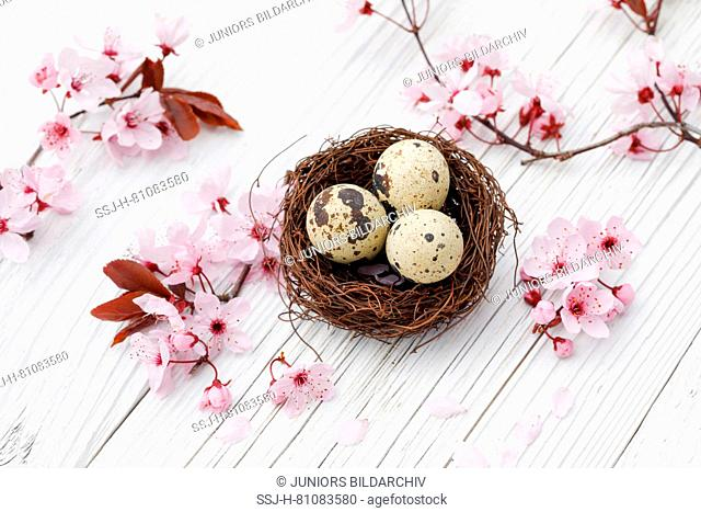 Nest with three eggs (Common Quail) next to a flowering cherry twigs on white planks. Switzerland