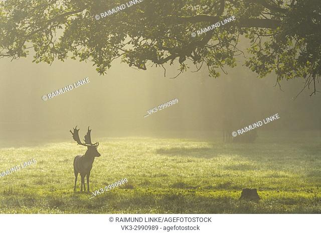 Fallow deer, Dama dama, Cervus dama, Male, with Morning Mist