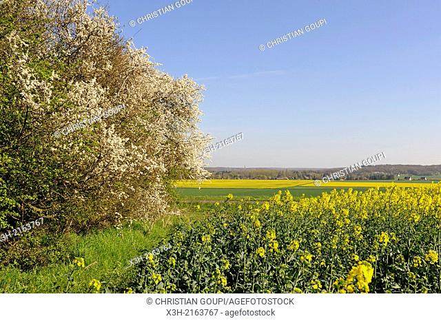 rapeseed field trimmed with hedge of blossoming Crataegus bush and wild cherry trees, Eure-et-Loir department, Centre region, France, Europe