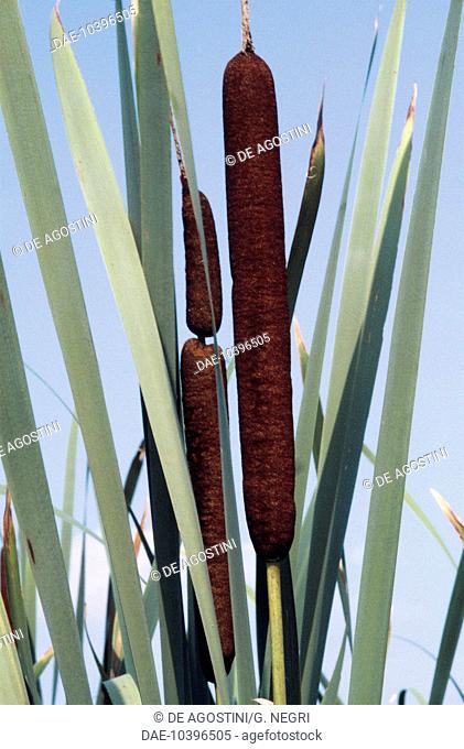 Bulrush or Cattail (Typha latifolia), Typhaceae