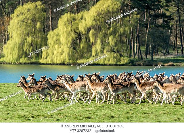 Herd of Fallow deer next to Holkham park lake, Holkham Hall, North Norfolk, East Anglia, England, UK