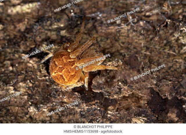 France, Araneae, Araneidae, Orb-weaver spider(Agalenatea redii)