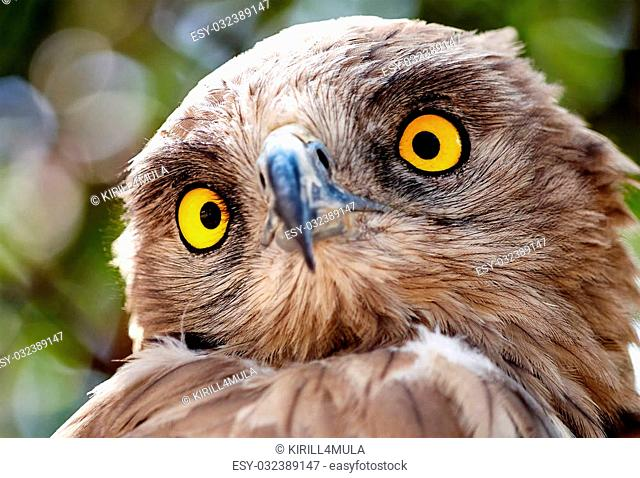 Staring Owl with amazing beautiful yellow eyes