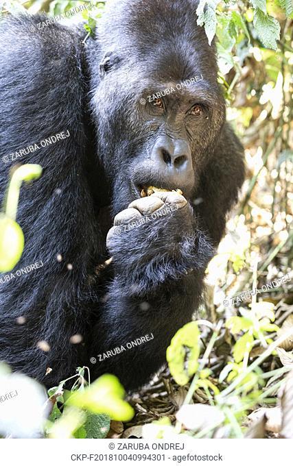 Eastern Lowland Gorilla, Gorilla beringei beringei, Bukavu, Democratic Republic of the Congo, July 15, 2018. (CTK Photo/Ondrej Zaruba)