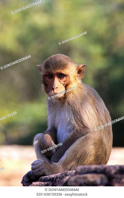 Rhesus macaque (Macaca mulatta) sitting at Taragarh Fort, Bundi, Rajasthan, India