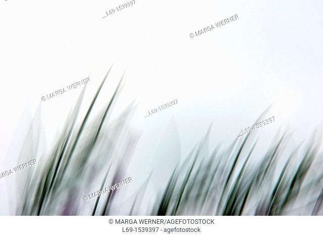 Willowherb, abstract